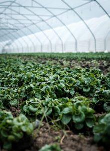 Harvest moon Lettuce